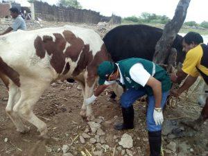 Senasa evalúa estado sanitario de ganado en distrito de Catacaos