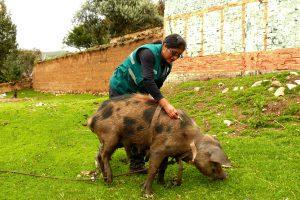 Senasa vacunará más de 35 mil cerdos en Huancavelica hasta junio