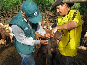 Senasa atiende a más de 2 500 animales en zonas de Tumbes afectadas por los fenómenos climáticos