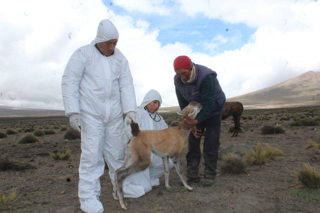 Senasa realiza monitoreo sanitario en distritos afectados por cenizas del volcán Sabancaya