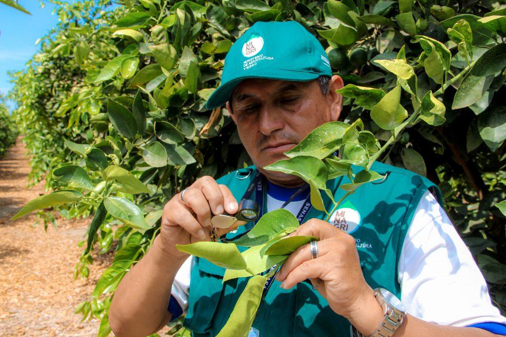 Senasa - Monitoreo y prospección en cultivos de cítricos