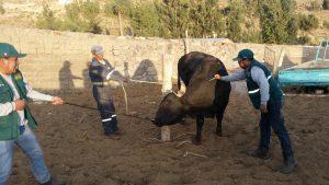 Senasa - Vacunación en Arequipa contra carbunco sintomático
