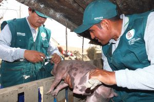 Senasa - Vacunación de crianzas en Cajamarquilla