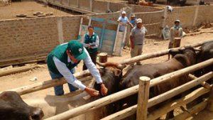 Senasa refuerza acciones de prevención contra Ántrax y Peste Porcina Clásica