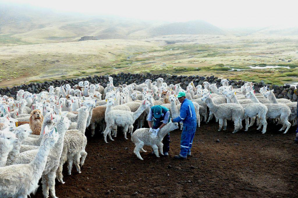 Senasa refuerza vigilancia fito y zoosanitaria en Huancavelica