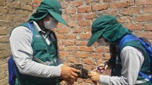 Senasa vacunó más de 50 mil aves para prevenir enfermedad de Newcastle