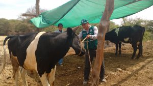 Senasa - Evaluación sanitaria a ganado en zonas afectadas de Ica