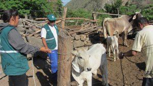 Senasa prioriza vacunación contra peste porcina, rabia y carbunco en Cajamarca