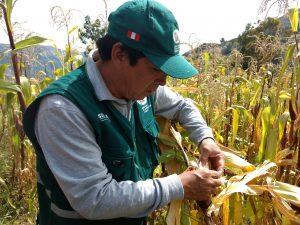 Senasa - Vigilancia fitosanitaria en maíz frente a bajas temperaturas