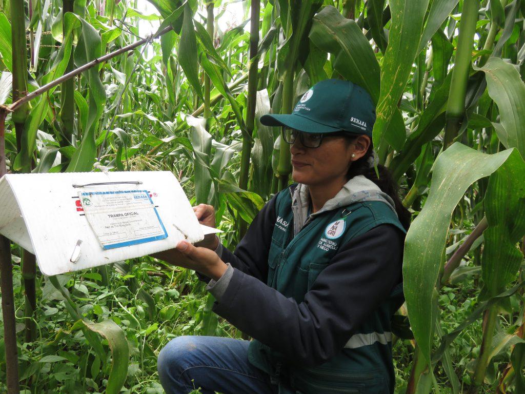 Senasa - Vigilancia fitosanitaria en cultivos de maíz del Cusco