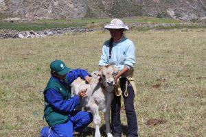 Senasa - Más de setecientos animales atendidos en Arequipa por heladas