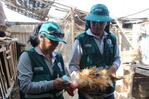Arequipa - Senasa vacunó a 61 mil aves para prevenir enfermedad de Newcastle