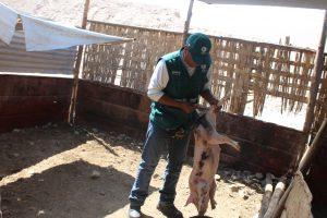 Senasa promueve la crianza responsable de porcinos