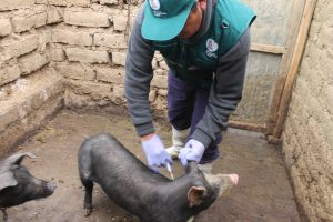Senasa previene peste porcina con vacunación de más de 15 mil cerdos en Junín