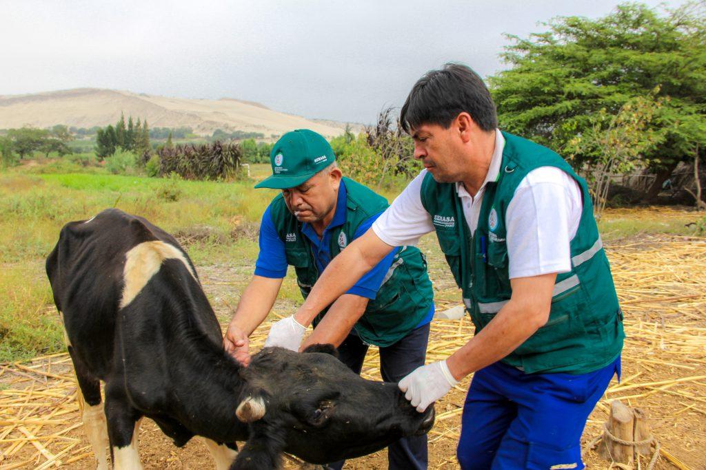 Senasa atiende a más de 500 animales en campañas sanitarias