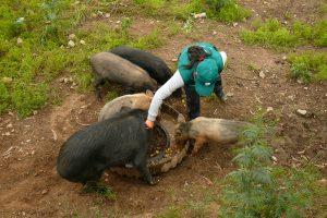 Senasa intensifica vacunación contra el cólera porcino en zona del Vraem