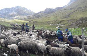 Senasa atiende a 925 ovinos en zonas altoandinas de Apurímac