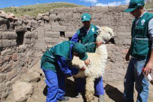 Senasa supervisa campaña de prevención y control de sarna en alpacas