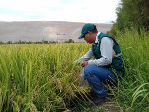 Senasa evalúa cultivos de arroz en el Valle de Tambo