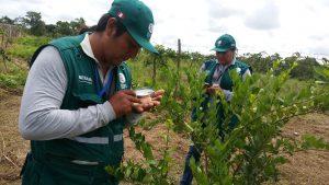 Senasa - Monitoreo de cultivo de limon en sectores de frontera del Perú