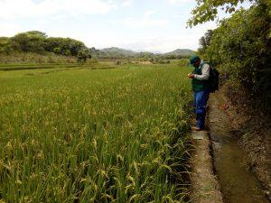 Senasa - Monitoreo preventivo en Piura para detectar plagas en el cultivo de arroz