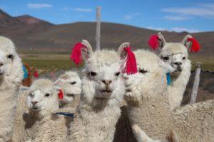 Desparasitación masiva de animales de abasto en campaña preventiva por heladas
