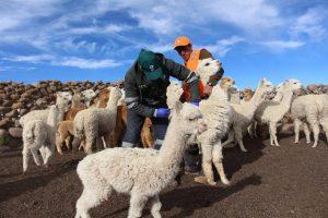 Senasa - Jornada de prevención zoosanitaria ante bajas temperaturas en Puno