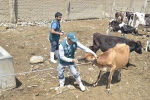 Senasa - Más de 700 animales atendidos en zonas afectadas por huaicos
