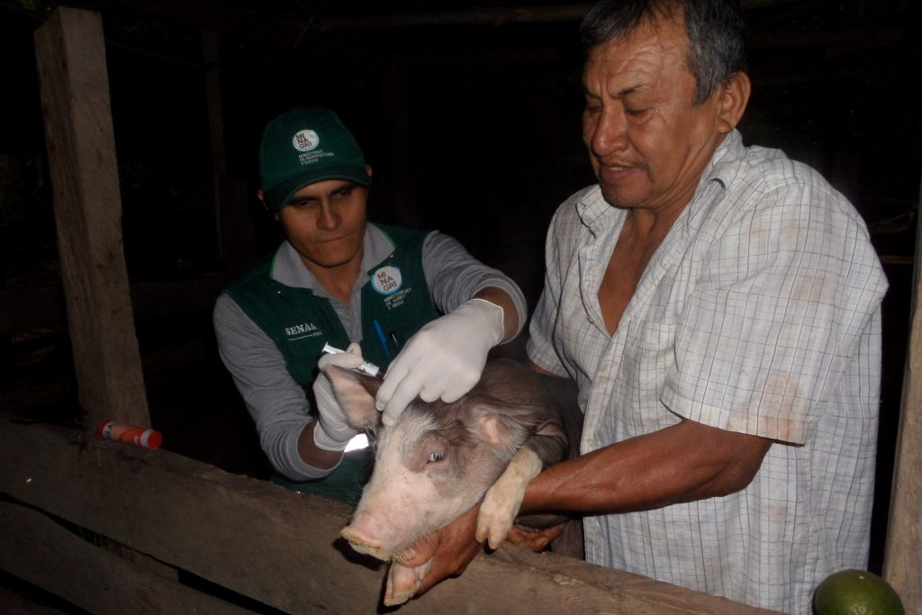 San Martín: Vacunación contra Peste Porcina Clásica consolida un 50 % de avance