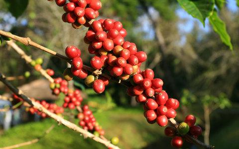Senasa establece requisitos fitosanitarios para la importación de plantas de café de Costa Rica