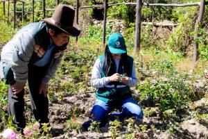 Evaluación de plagas en rosas - Senasa Ancash