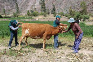 Senasa Arequipa - Muestreo brucelosis bovina