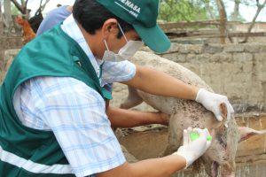 Senasa - Atención a ganado porcino en Lambayeque