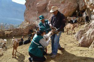 Senasa Cusco - Evaluación sanitaria al ganado caprino