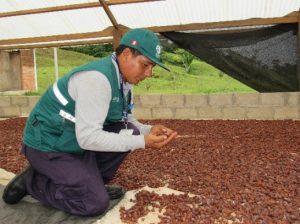 Senasa - Madre de Dios - Cultivo de Cacao