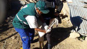 Senasa - Monitoreo brucelosis en Huamanga