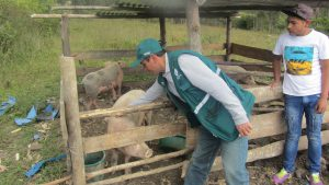 Senasa - Vacunación de ganado porcino en Amazonas