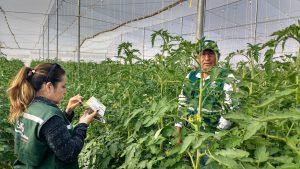 Senasa certifica planta empacadora y lugar de producción de tomate con fines de exportación