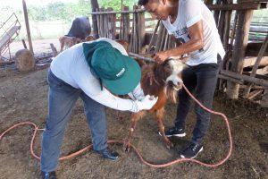 Senasa en San Martín - Toma de muestras serológicas al ganado caprino