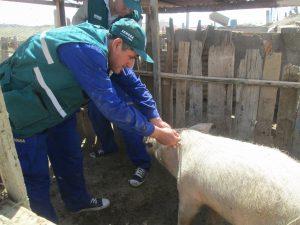 Campaña de vacunación alcanza a más 160 mil porcinos en Piura