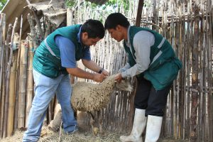 Senasa - Acciones civicas de sanidad animal en Lambayeque 1