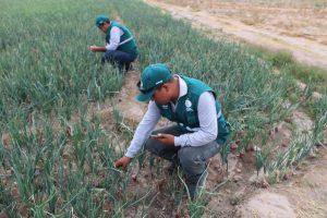 Senasa - Arequipa - Vigilancia fitosanitaria en cultivos de cebolla