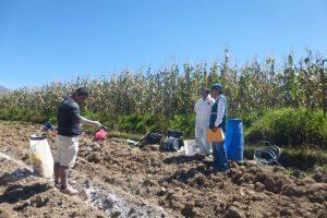 Senasa Huanuco - Ensayo de eficacia de plaguicidas