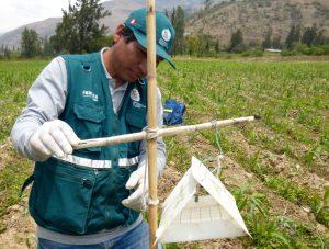 Senasa - Monitoreo de Helicoverpa armígera en cultivos de maiz