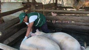 Senasa - Registro de vacunación contra peste porcina clásica supera los 27 mil cerdos en Junín