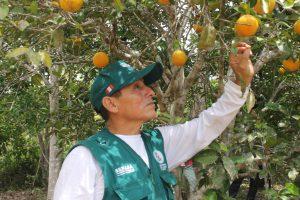 Senasa evaluó más de mil hectáreas de cultivo en Selva Central