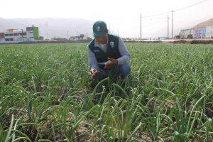 Senasa garantiza calidad de cebolla para exportacion - Arequipa