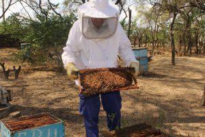 Senasa toma medidas para disminuir prevalencia de varroa en Lambayeque