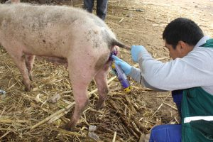 Senasa visita predios pecuarios para determinar prevalencia del gusano barrenador