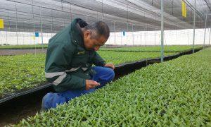 Senasa - Cuarentena posentrada de semillas de capsicum en Sayán